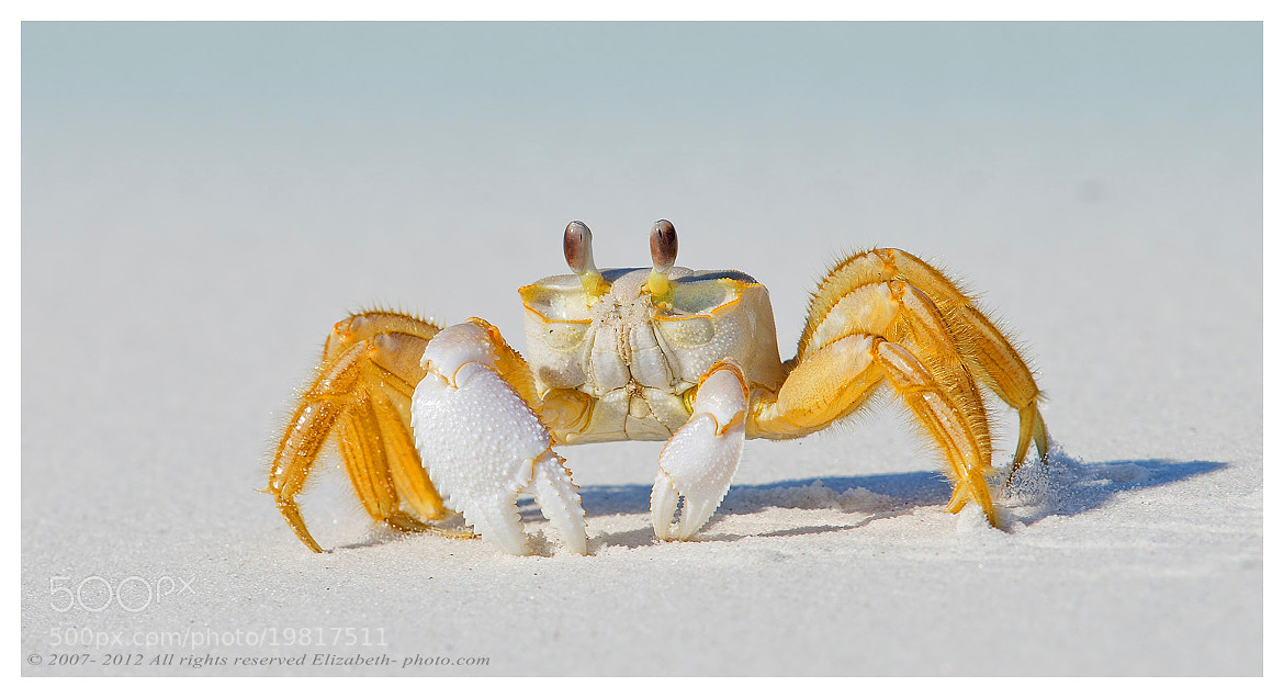 Photograph Ghost Crab by Elizabeth.  E. on 500px