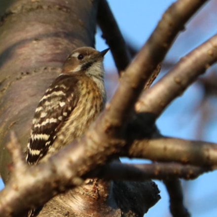 Japanese pygmy woodpecker, Canon EOS KISS X8I, Canon EF-S 55-250mm f/4-5.6 IS STM