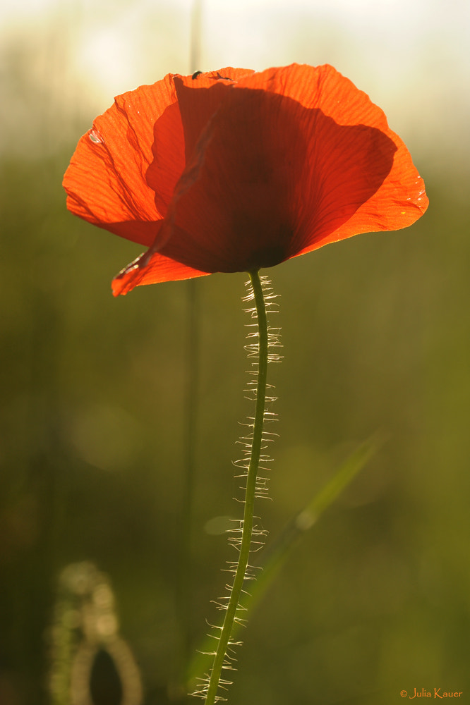 Photograph Poppy by Julia Kauer on 500px