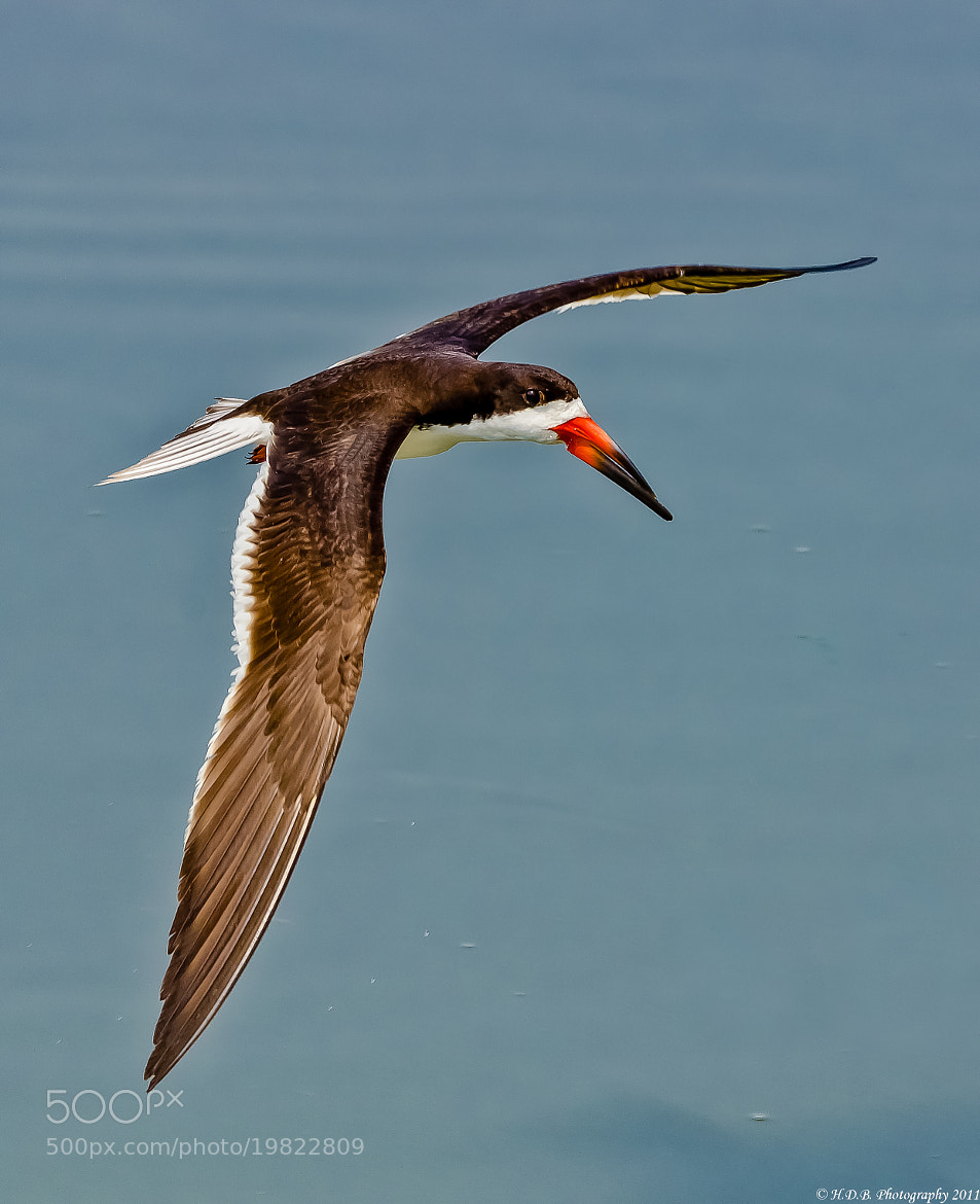 Photograph Black Skimmer by Harold Begun on 500px