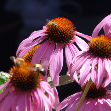 Coneflowers and Bees, Fujifilm FinePix S4530