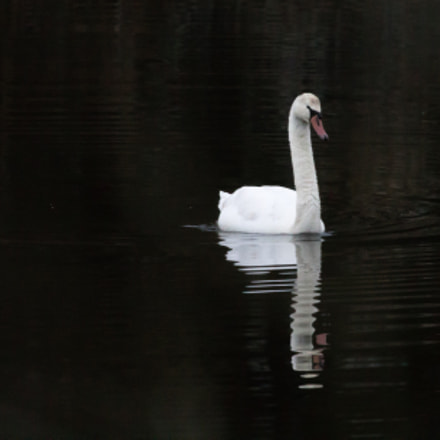 Lonely Mute Swan, Canon EOS REBEL T3, Canon EF 100-400mm f/4.5-5.6L IS