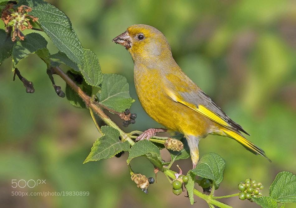Photograph European greenfinch by Rafi Raz on 500px