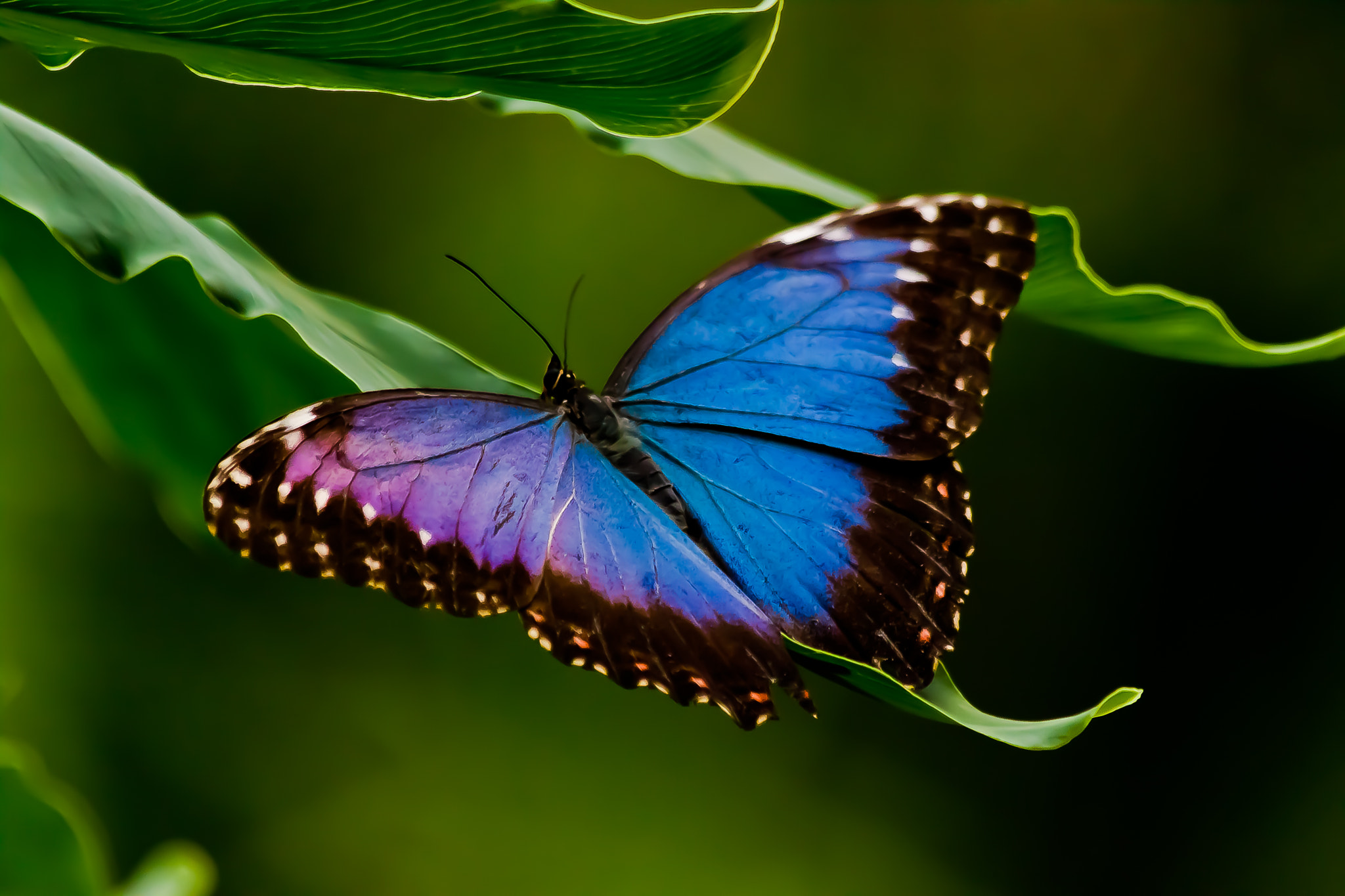 Photograph Blue Morpho by Tori  on 500px