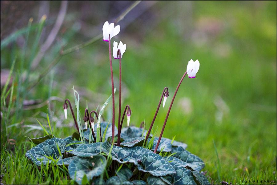 Spring - Cyclamen №2
