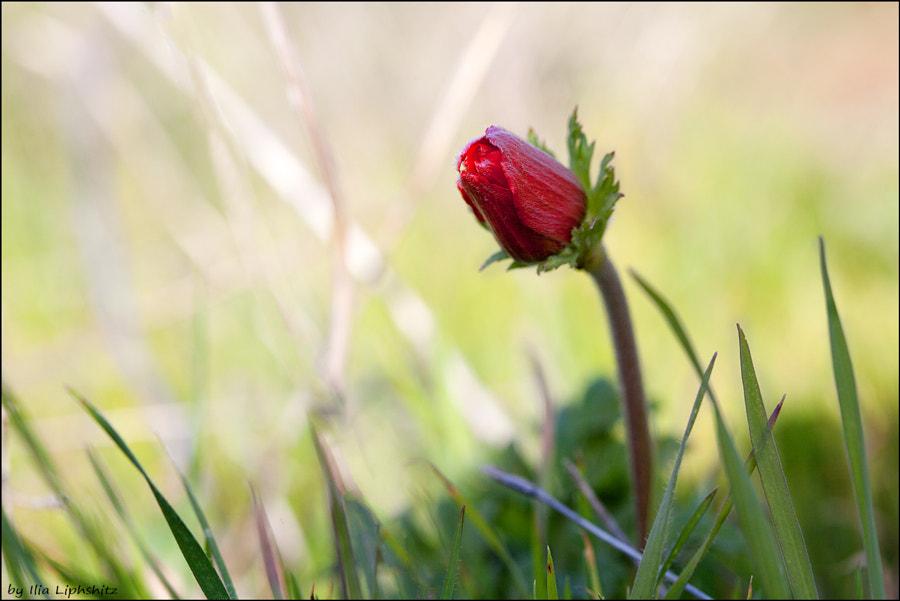 Spring - anemone №1