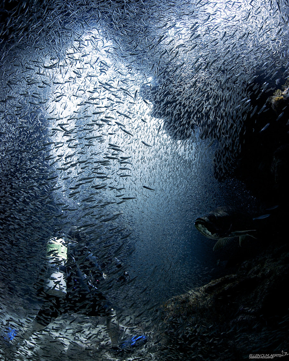 Photograph Diver immersed in silversides by Ellen Cuylaerts on 500px