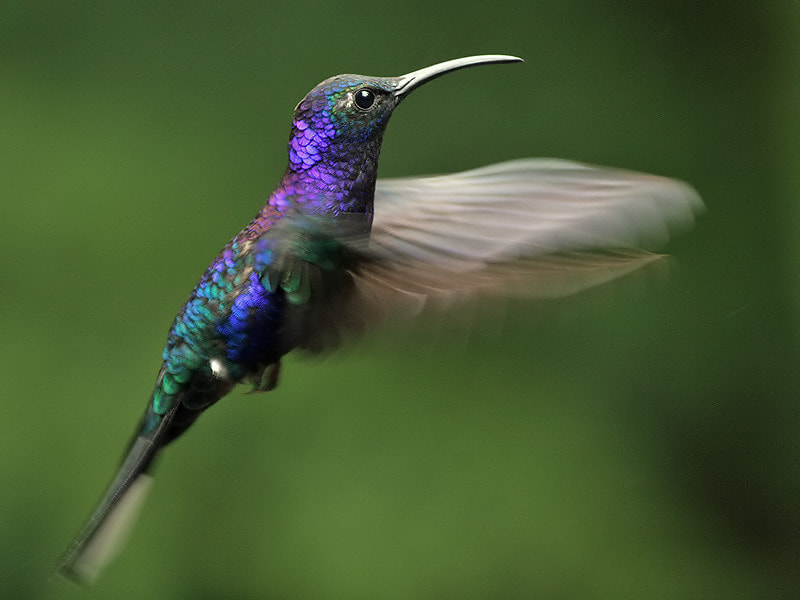 Photograph Hovering Sabrewing  by Aat Bender on 500px