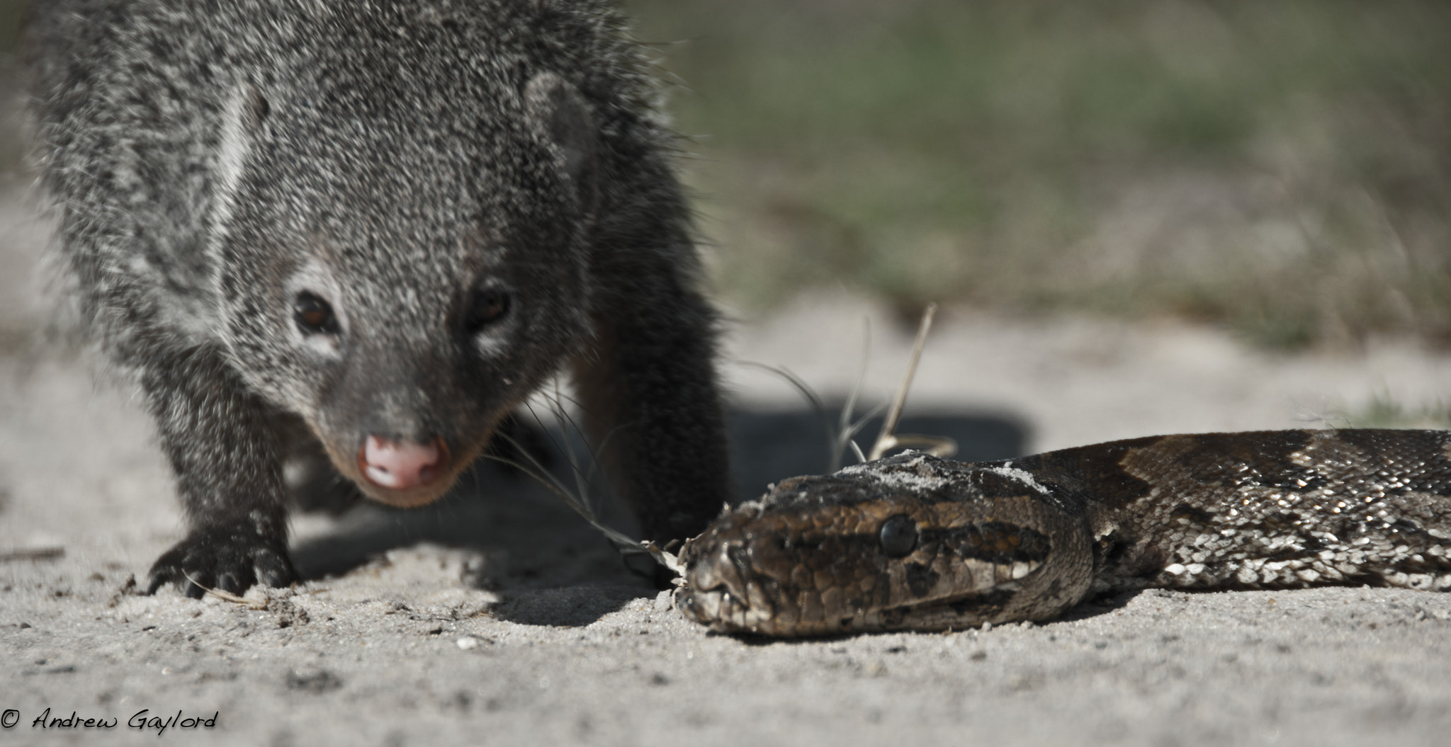 Photograph Mongoose vs Python by Andrew Gaylord on 500px