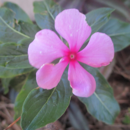 Pink Flower, Canon POWERSHOT ELPH 115 IS