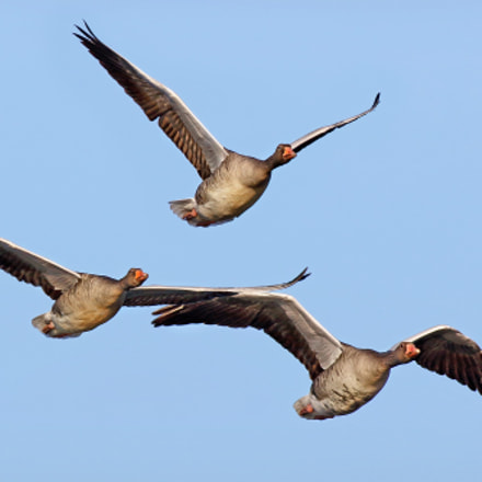 Wild geese, Canon EOS 7D MARK II, Canon EF 500mm f/4.5L