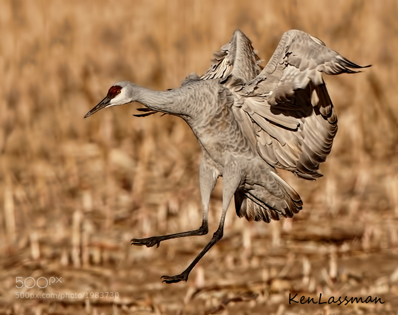 Sandhill Crane landing at one of the corn fields at Bosque Del Apache, New Mexico