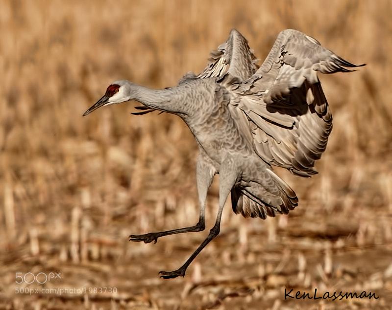 Sandhill Crane landing at one of the corn fields at Bosque Del Apache, New Mexico
