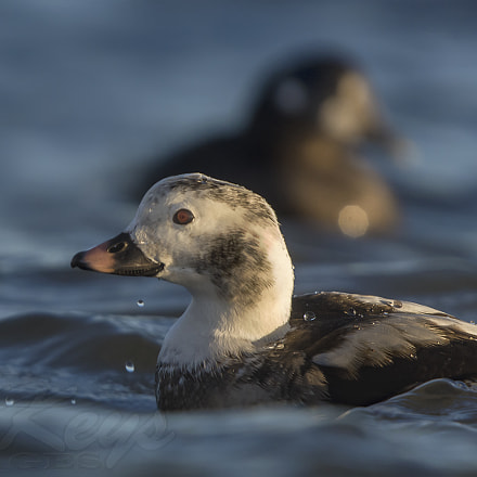 Long-tail Portrait (Long-tailed Duck), Nikon D7200, Sigma APO 500mm F4.5 EX DG HSM