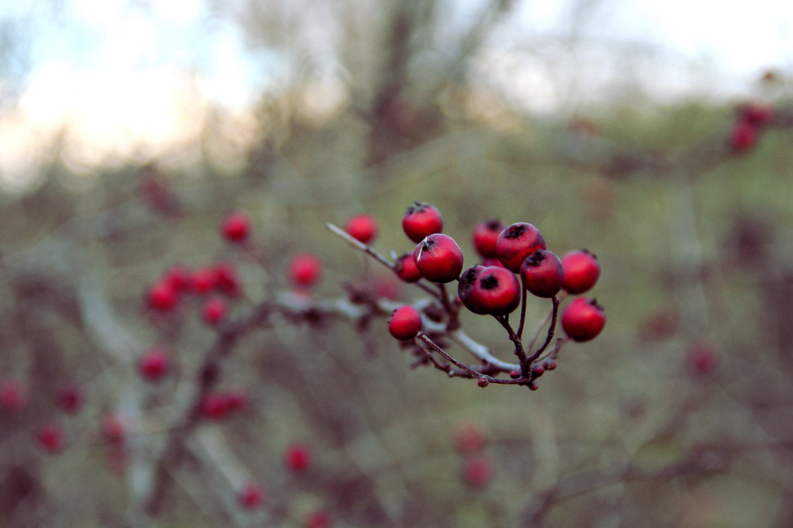Photograph Red Berries by Matthias Zirnig on 500px