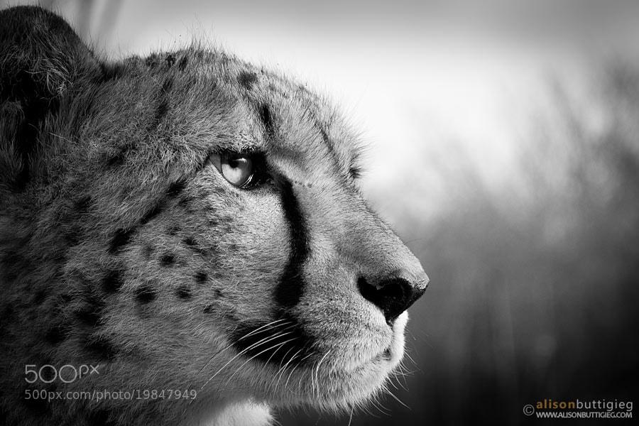 Photograph Pondering Cheetah by Alison Buttigieg on 500px