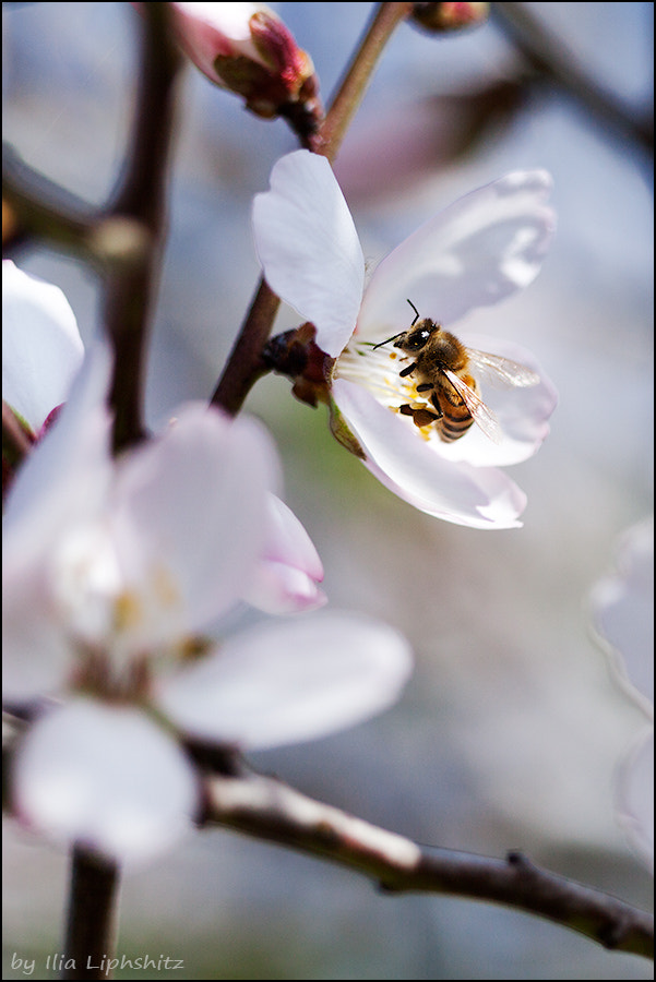 Spring - almond and a bee №3