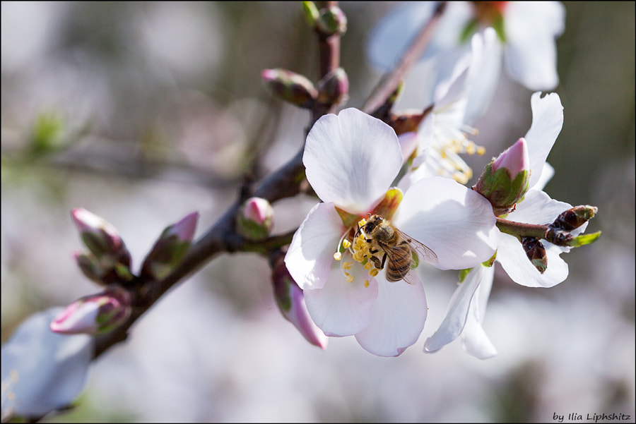 Spring - almond and a bee №4