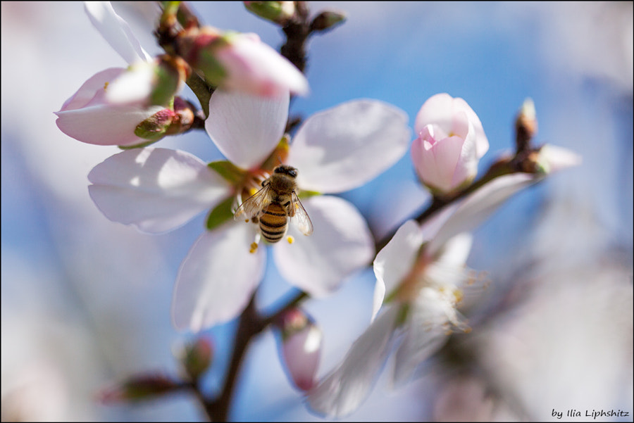Spring - almond and a bee №5