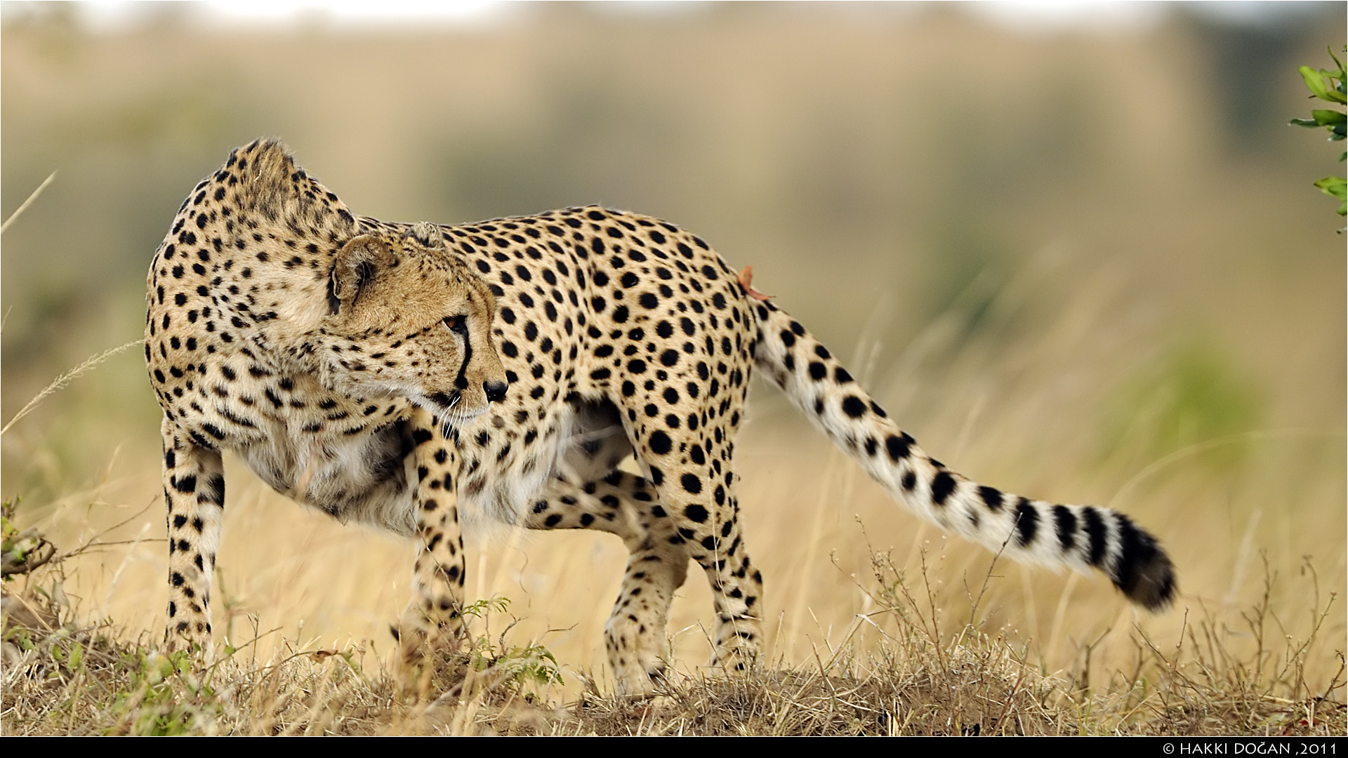 Photograph Cheetah by Hakki Dogan on 500px