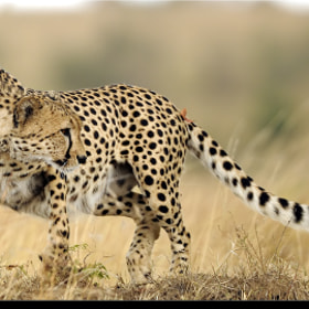 Cheetah by Hakki Dogan (hakkidogan)) on 500px.com