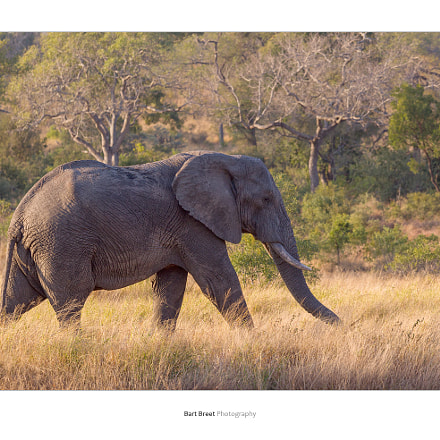 African elephant, Canon EOS-1D MARK IV, Canon EF 70-200mm f/4L IS
