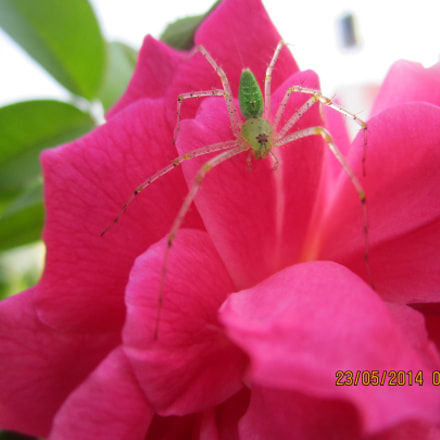 spider in a rose..., Canon POWERSHOT A2200
