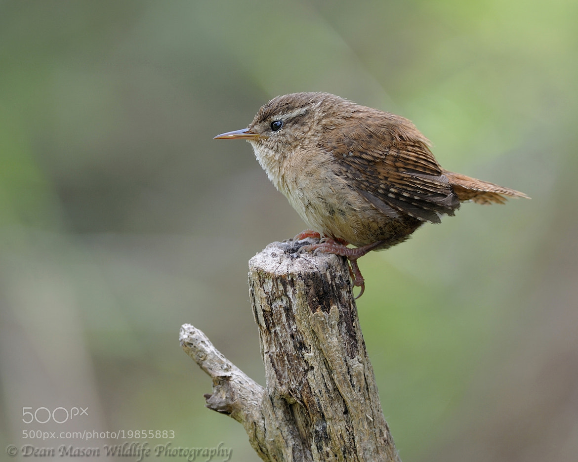 Photograph Jenny Wren by Dean Mason on 500px