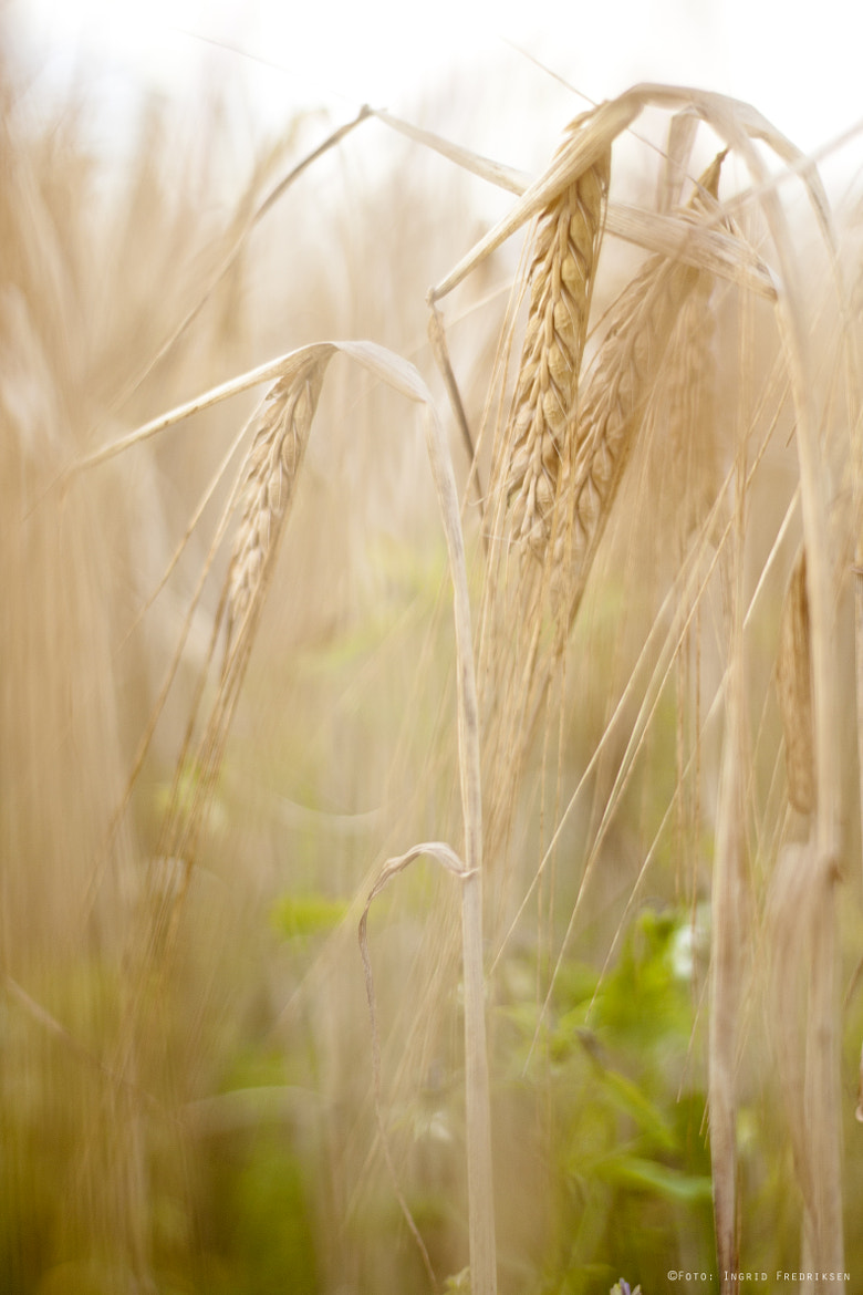 Photograph Soft wheat by Ingrid Vestby Fredriksen on 500px