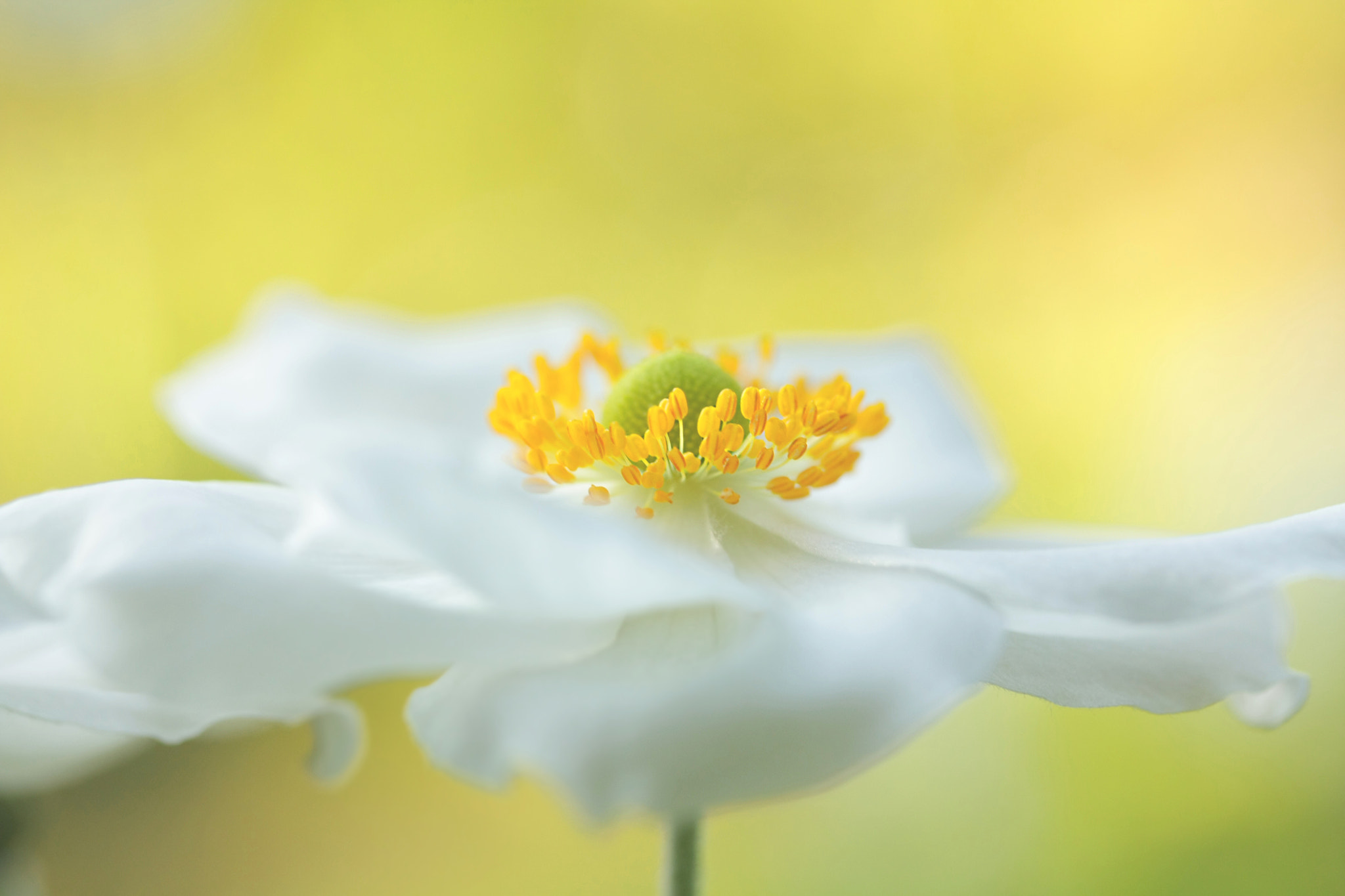 Photograph White Delicate Anemone by EWA CIEBIERA on 500px