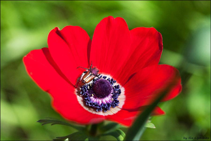 Spring - anemone №4