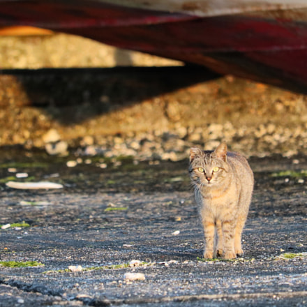 stray cat, Canon EOS KISS X8I, Canon EF-S 55-250mm f/4-5.6 IS STM