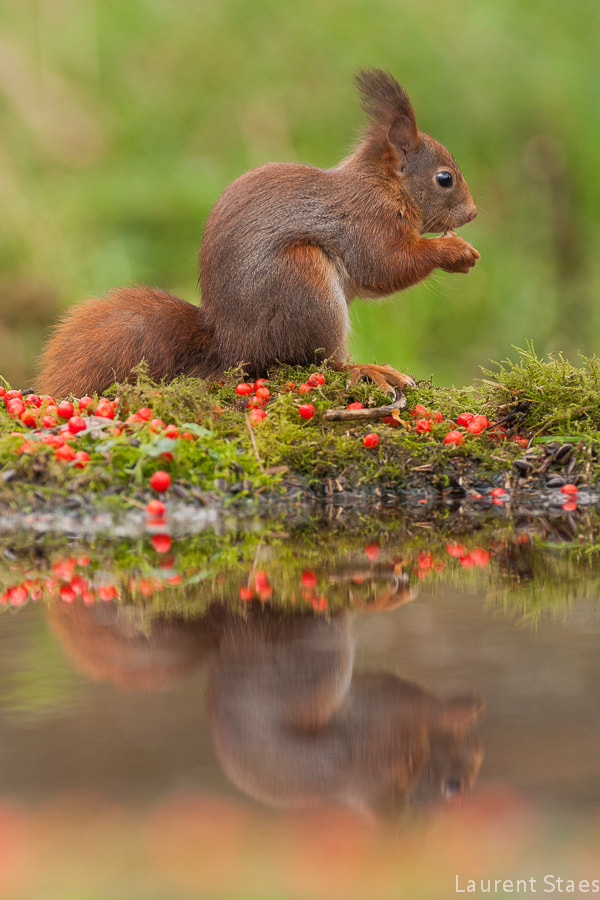 Photograph Red Squirrel by Laurent Staes on 500px