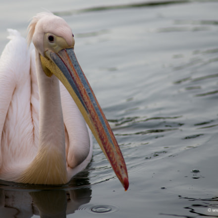 Pelican on the lake, Nikon D600, AF Nikkor 180mm f/2.8D IF-ED