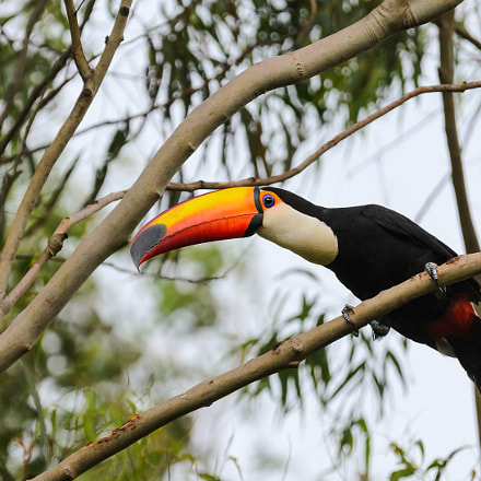 Toucan watching on a, Nikon D7000, Sigma APO 120-400mm F4.5-5.6 DG OS HSM