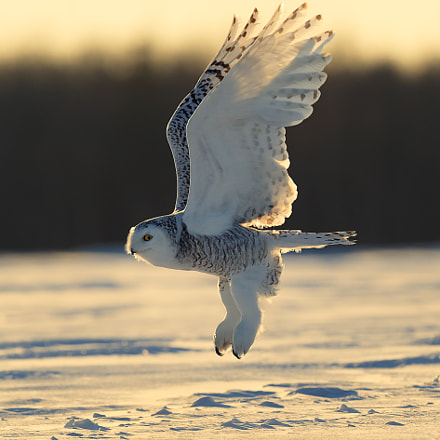 Snow owl departure, Canon EOS-1D X MARK II, Canon EF 500mm f/4L IS II USM