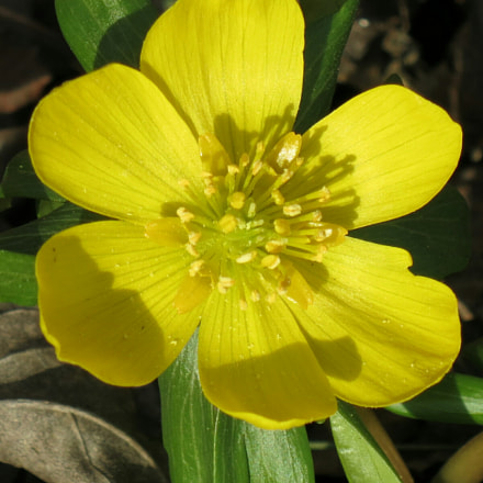 This little winter aconite, Canon POWERSHOT S110