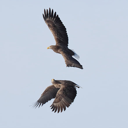 White-tailed sea eagle, Canon EOS 5DS R, Canon EF 400mm f/2.8L IS II USM