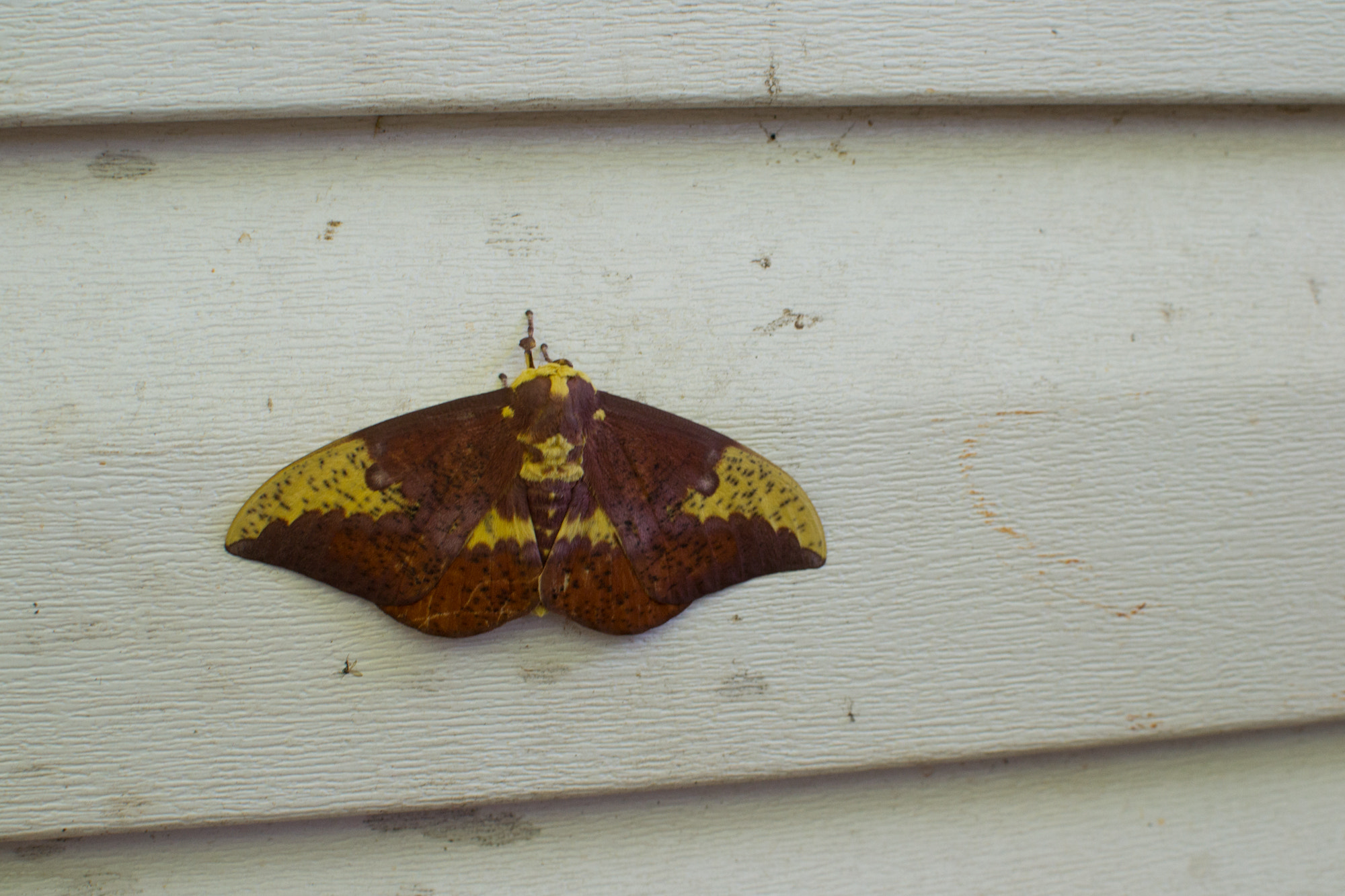 Photograph Imperial Moth by Sarah Khalaf on 500px