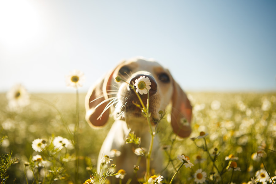 Dog smelling chamomile by Rodrigo Capuski on 500px.com