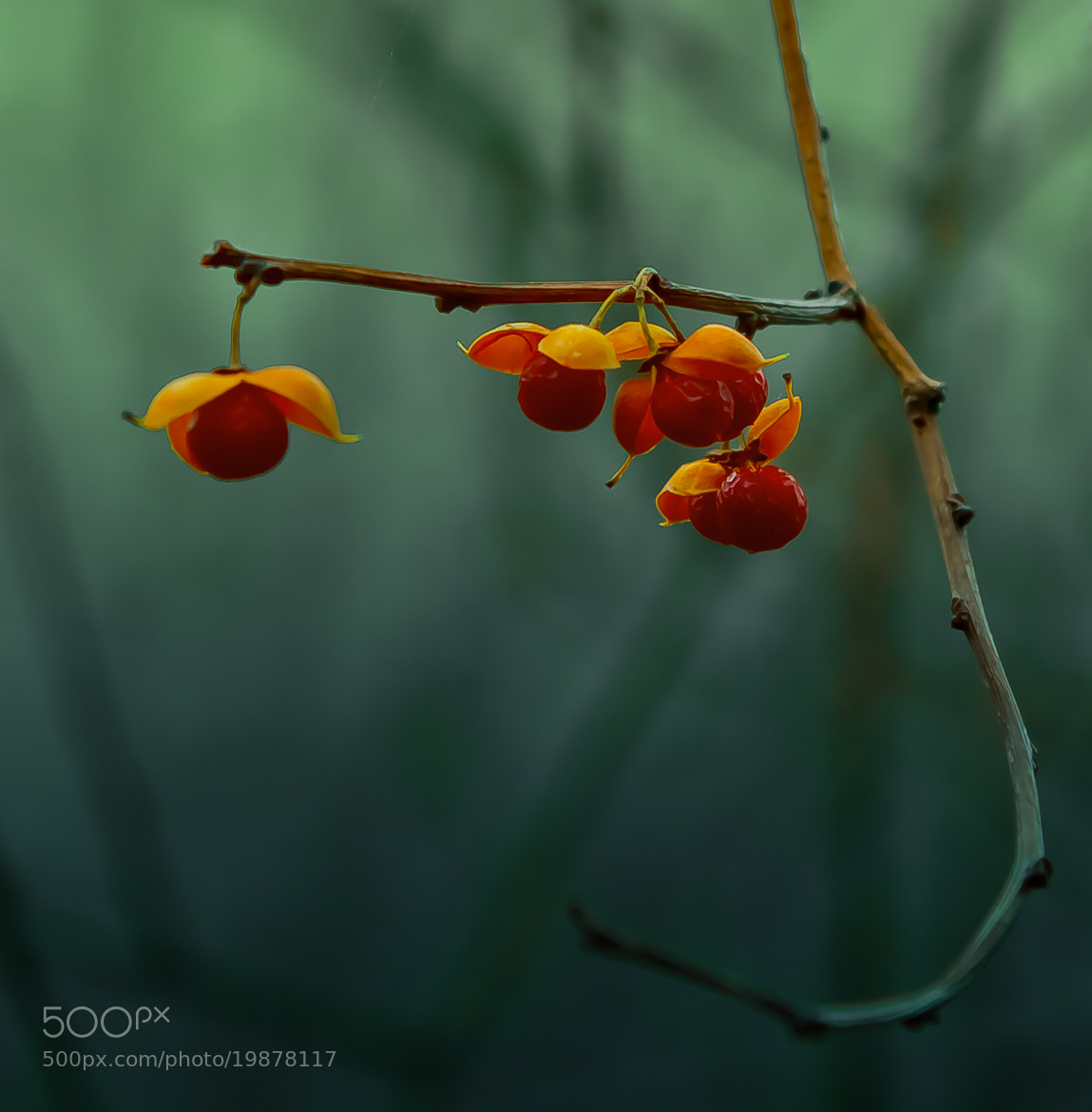 Photograph Winter Berry by Brian Estelle on 500px