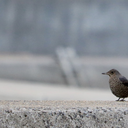 Blue rock thrush, Canon EOS KISS X8I, Canon EF-S 55-250mm f/4-5.6 IS STM