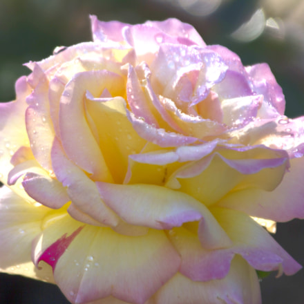 A rose with dew, Canon EOS 7D, Tamron 18-250mm f/3.5-6.3 Di II LD Aspherical [IF] Macro