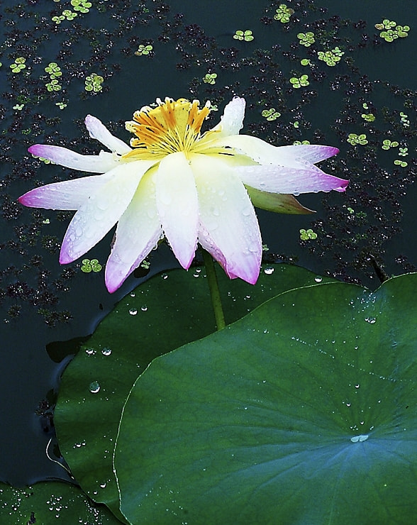 Photograph Lotus by ljc0970 on 500px
