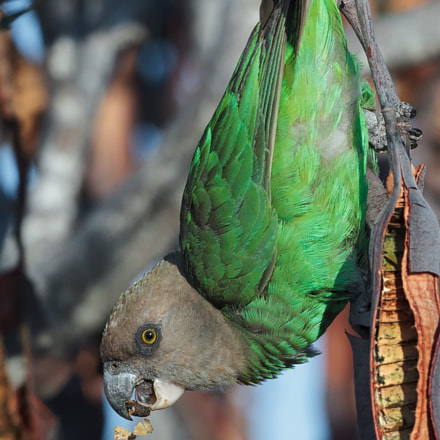 BrownHeadedParrot, Canon EOS-1D MARK IV, Canon EF 500mm f/4L IS II USM