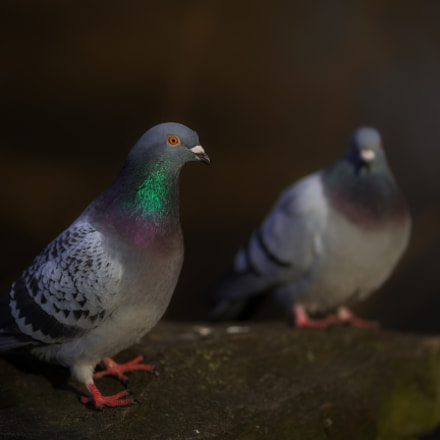 Pigeon.., Canon EOS-1D X, Canon EF 200mm f/2L IS