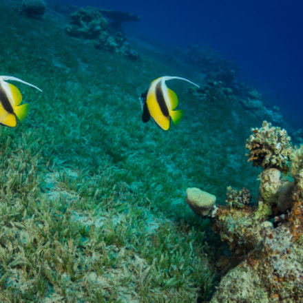 Butterfly fishes, Canon EOS 5D MARK III, Canon EF 8-15mm f/4L Fisheye USM
