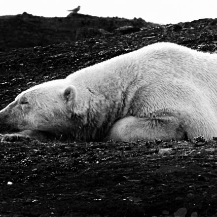 Ice bear of Norway, Canon POWERSHOT SX10 IS