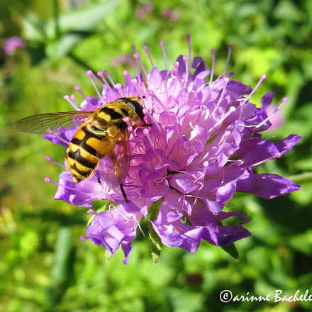 Wasp on a violet, Canon POWERSHOT SX240 HS