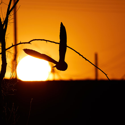 Owl Into the Sunset, Canon EOS 7D MARK II, EF400mm f/5.6L USM